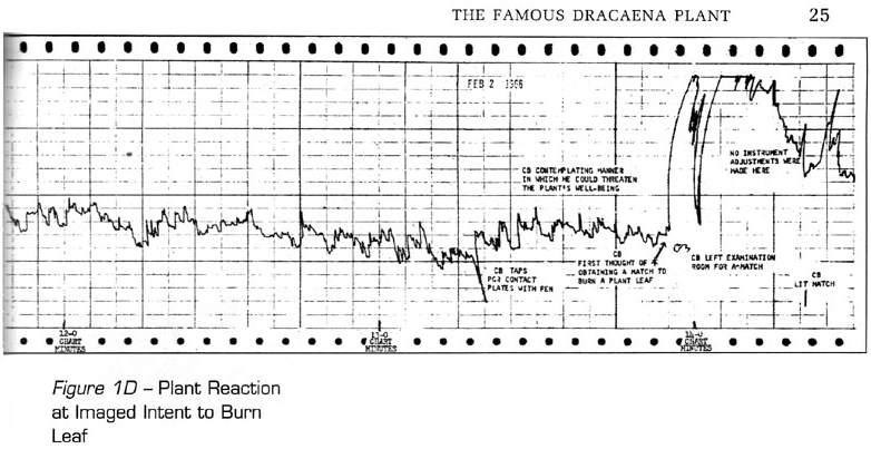 dracaena-burn