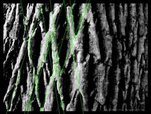Illustrazione 17: angolo di cambio di scala Phi nella corteccia degli alberi
