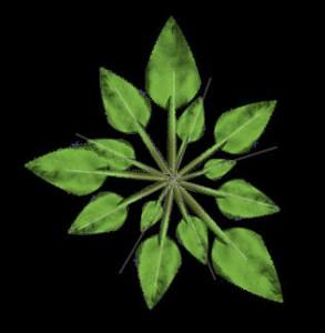 Illustrazione 20: foglie disposte secondo l'angolo di rotazione phi