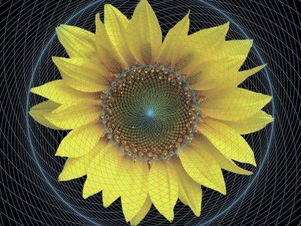 sunflowerspiral